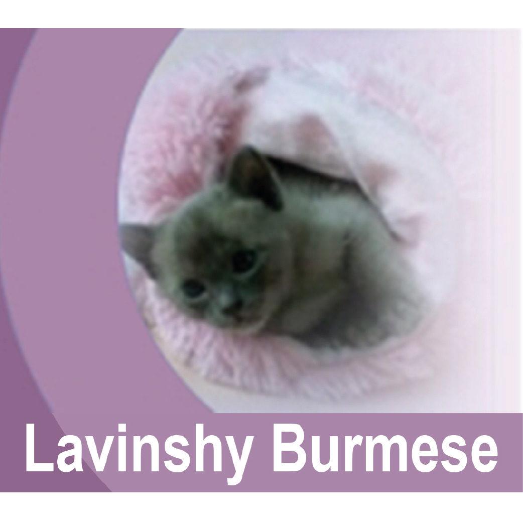 Lavinshy Burmese